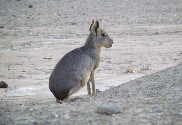 Mara o liebre criolla, una especie nativa poco conocida por los niños